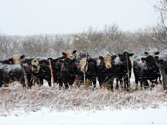 Cattle wait out snowstorm