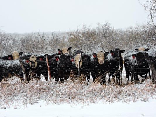 Cattle wait out snowstorm