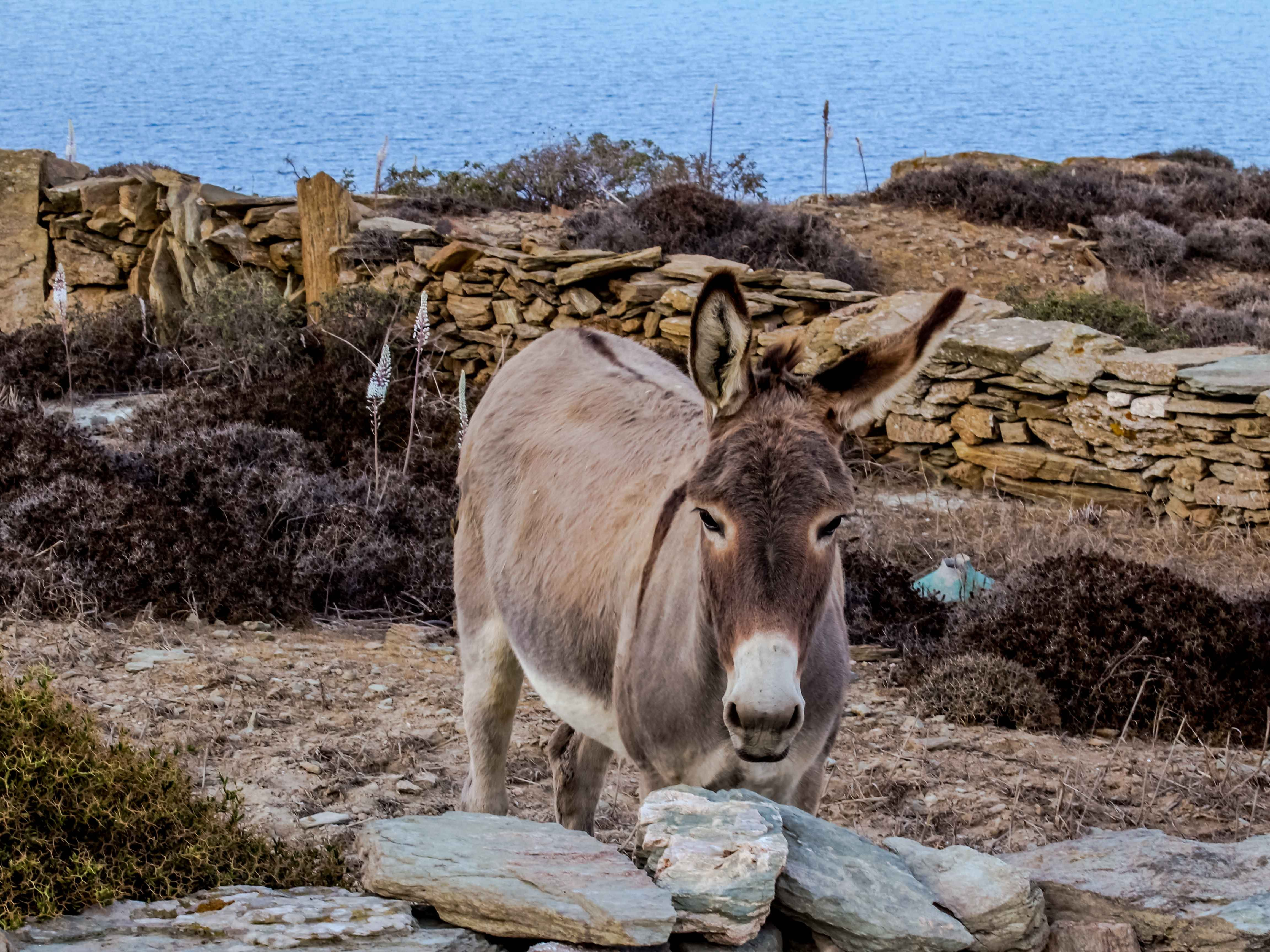 Folegandros, as is the case in most of the Cyclades, is home to many goats, cats and friendly and gentle donkeys who come by to greet visitors in the hope of a treat.