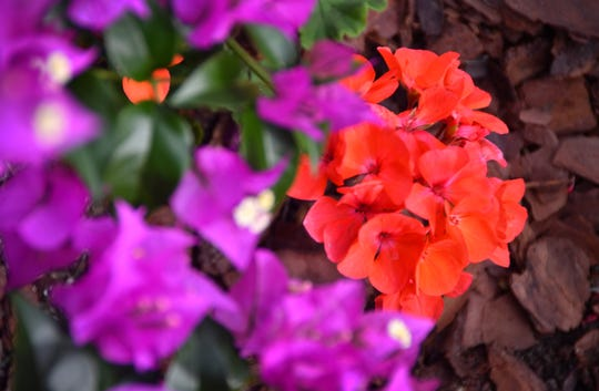 A close up of a geranium underneath a purple bougainvillea in a bed of pine bark,.  Alan and Sharon Smith have added 500 evening glow geraniums to their yard giving their beautiful Indialantic home on the point bright accent colors that will last until the end of May.