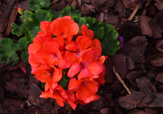 detail shot of a evening glow geranium. Alan and Sharon Smith have added 500 evening glow geraniums to their yard giving their beautiful Indialantic home on the point bright accent colors that will last until the end of May.