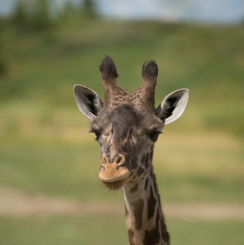 Giraffe dies at Columbus Zoo