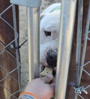 Vince Pulis, a C.H.A.I.N.E.D. volunteer,  feeds a dog through a fence on Sunday, December 9, 2018 in S.W. Detroit.