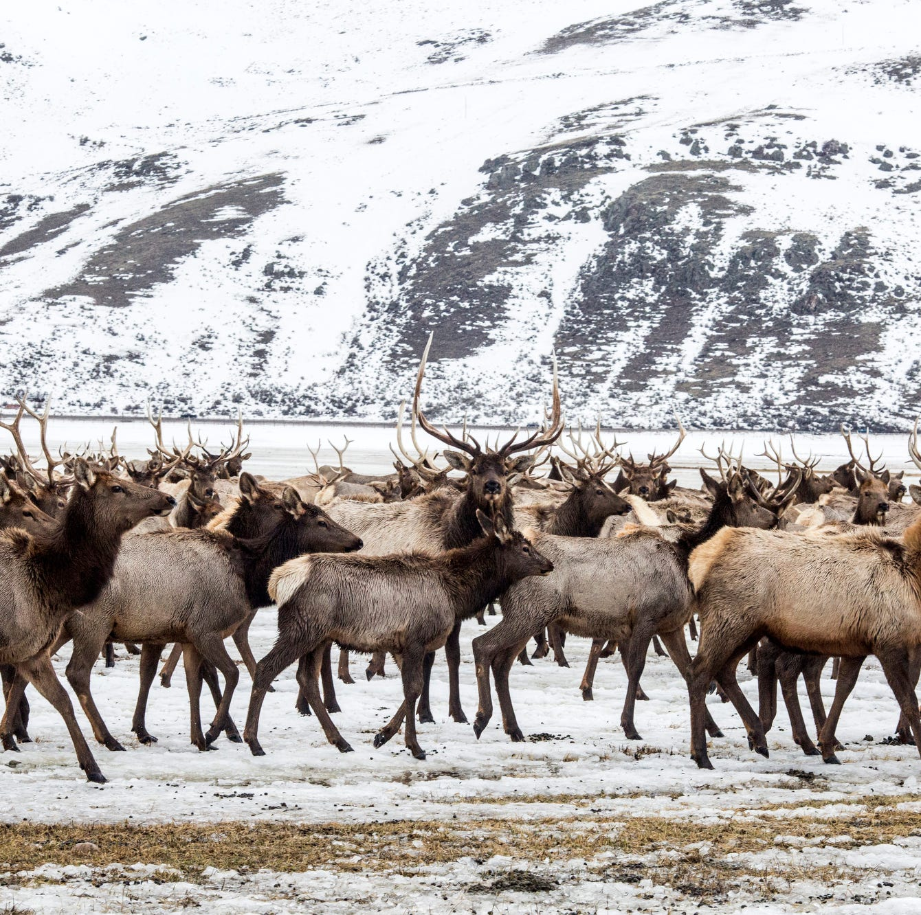 Environmentalists: Plan to reduce elk feeding is overdue