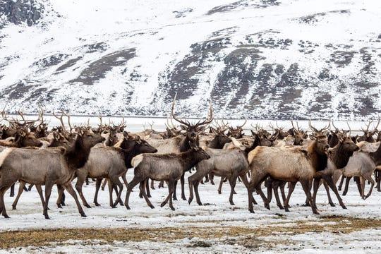 A herd of elk grazes in a field.