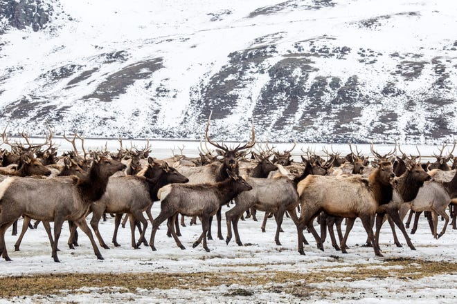 FILE - In this Feb. 21, 2017, file photo, Elk make their way to the feed line on the National Elk Refuge north of Jackson, Wyo. An environmental group wants federal wildlife managers to quickly produce an overdue plan to reduce the amount of supplemental feed given to wild elk on the National Elk Refuge in northwest Wyoming.  (Ryan Dorgan/Jackson Hole News & Guide via AP, File)