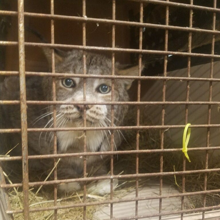 Trooper finds Canadian lynx in truck headed for Binghamton