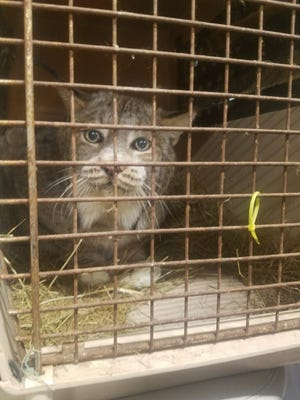 On Dec. 8, a New York State Trooper stopped to help a motorist with a flat tire on I-86, near Ashland, and noticed a dog cage in the back of the pickup with a Canadian lynx inside. With the assistance of the New York state Department of Environmental Conservation, state police determined the lynx was being transported illegally from Illinois to Binghamton.