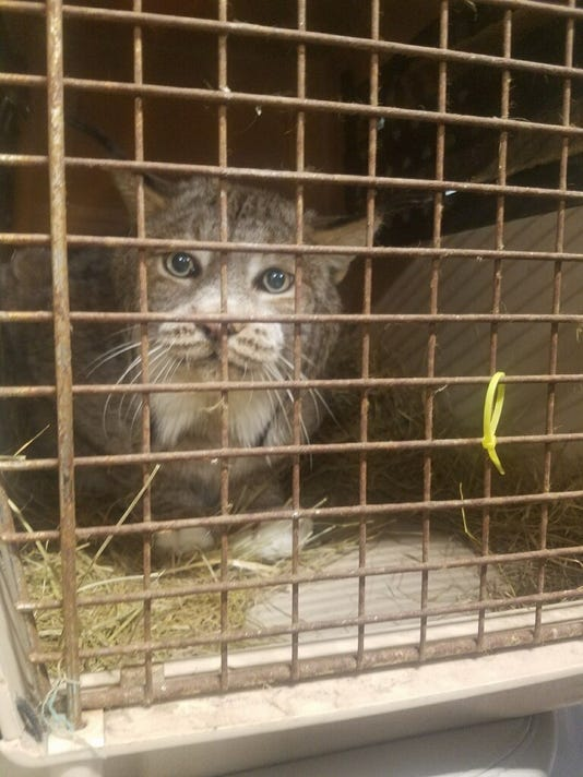 NYS Trooper finds Canadian lynx in truck headed for Binghamton
