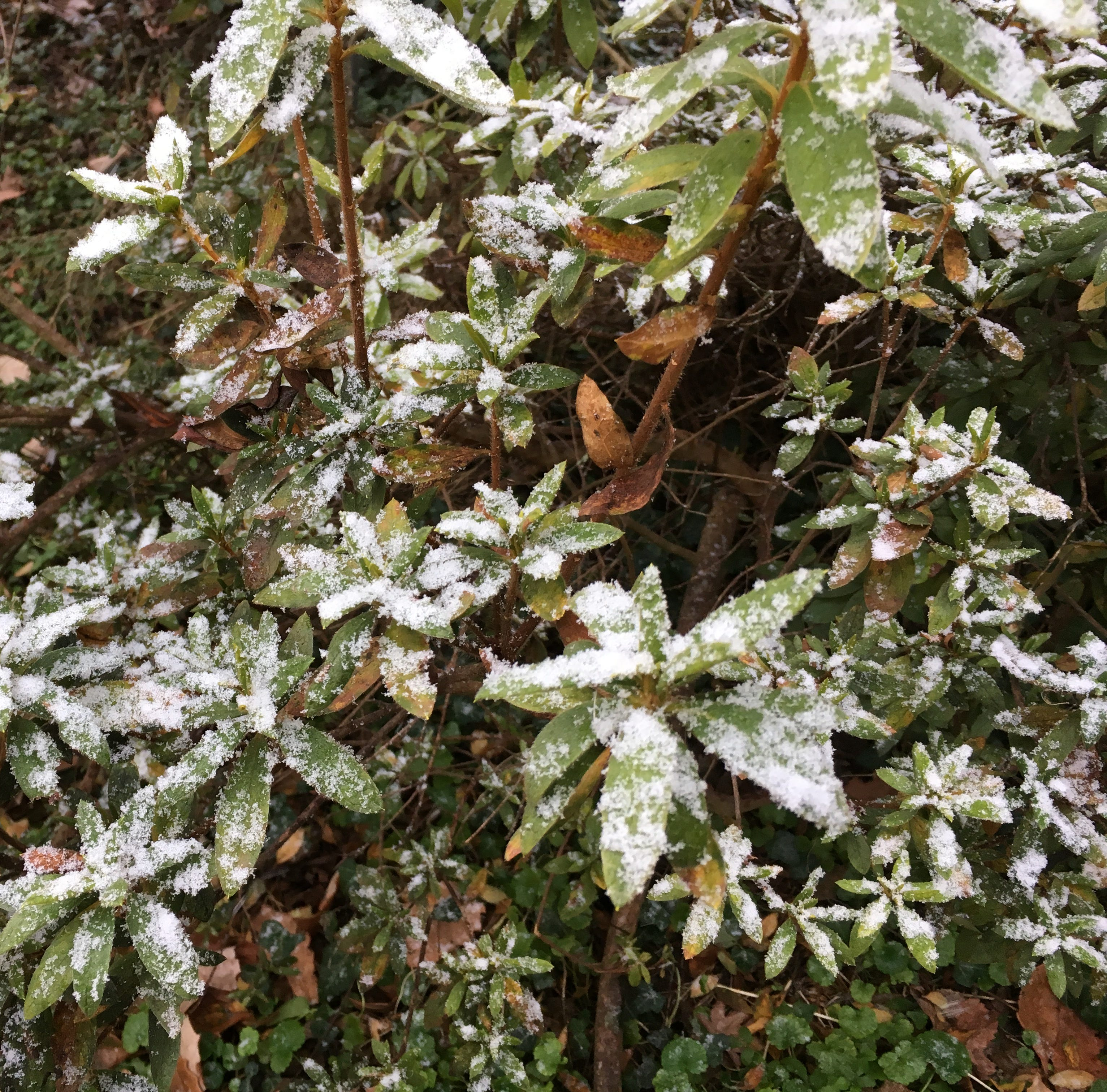A dusting of snow falls on foliage in Princess Anne on Sunday, Dec. 9, 2017.
