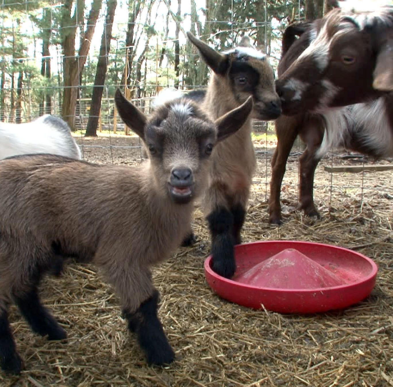 Tending to the goats at the OASIS program on...