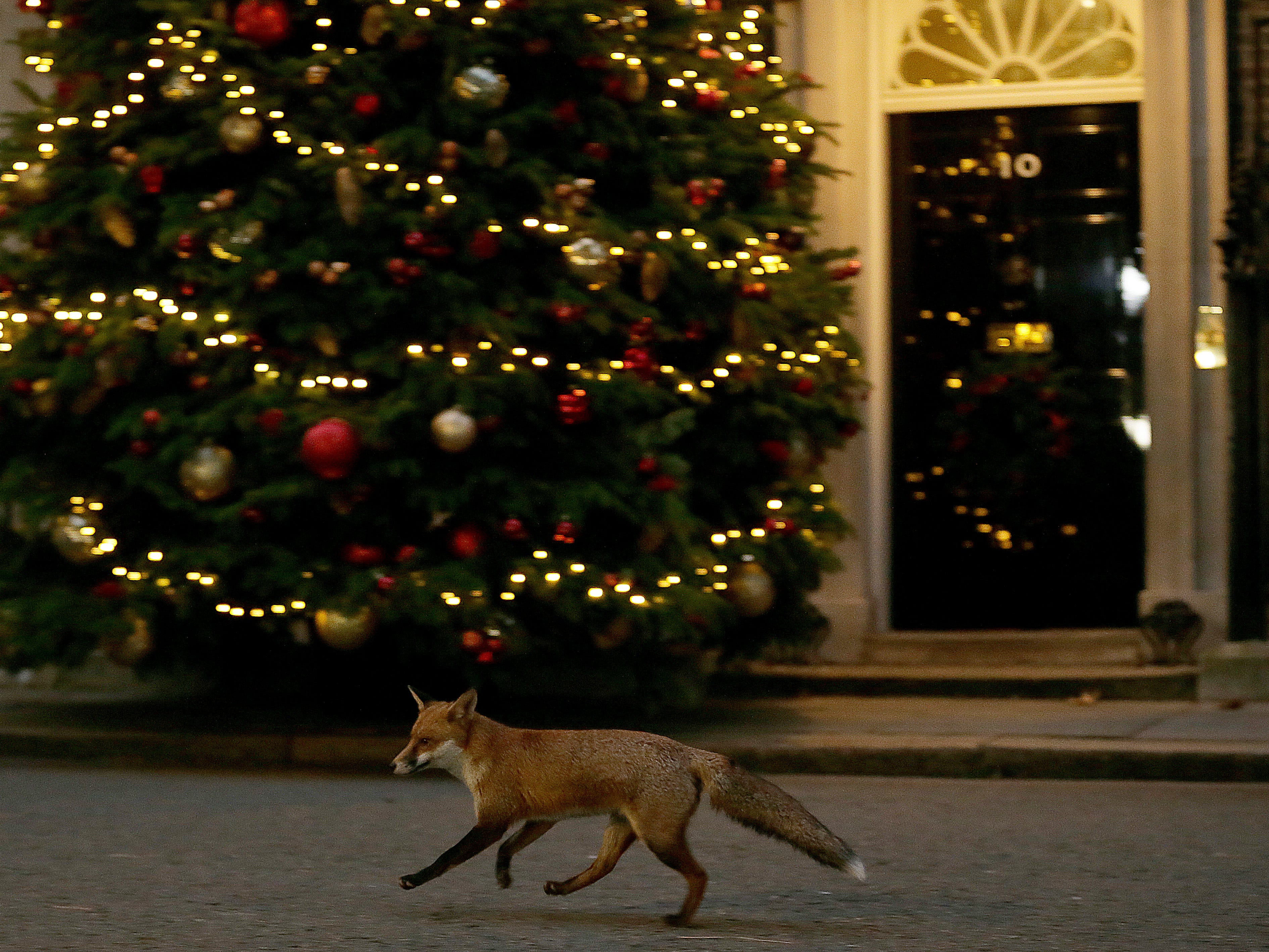 A fox runs past 10 Downing Street, in London, Monday Dec. 10, 2018. British Prime Minister Theresa May on Monday postponed Parliament's vote on her Brexit deal with the European Union, acknowledging that lawmakers would have rejected it by a significant margin.