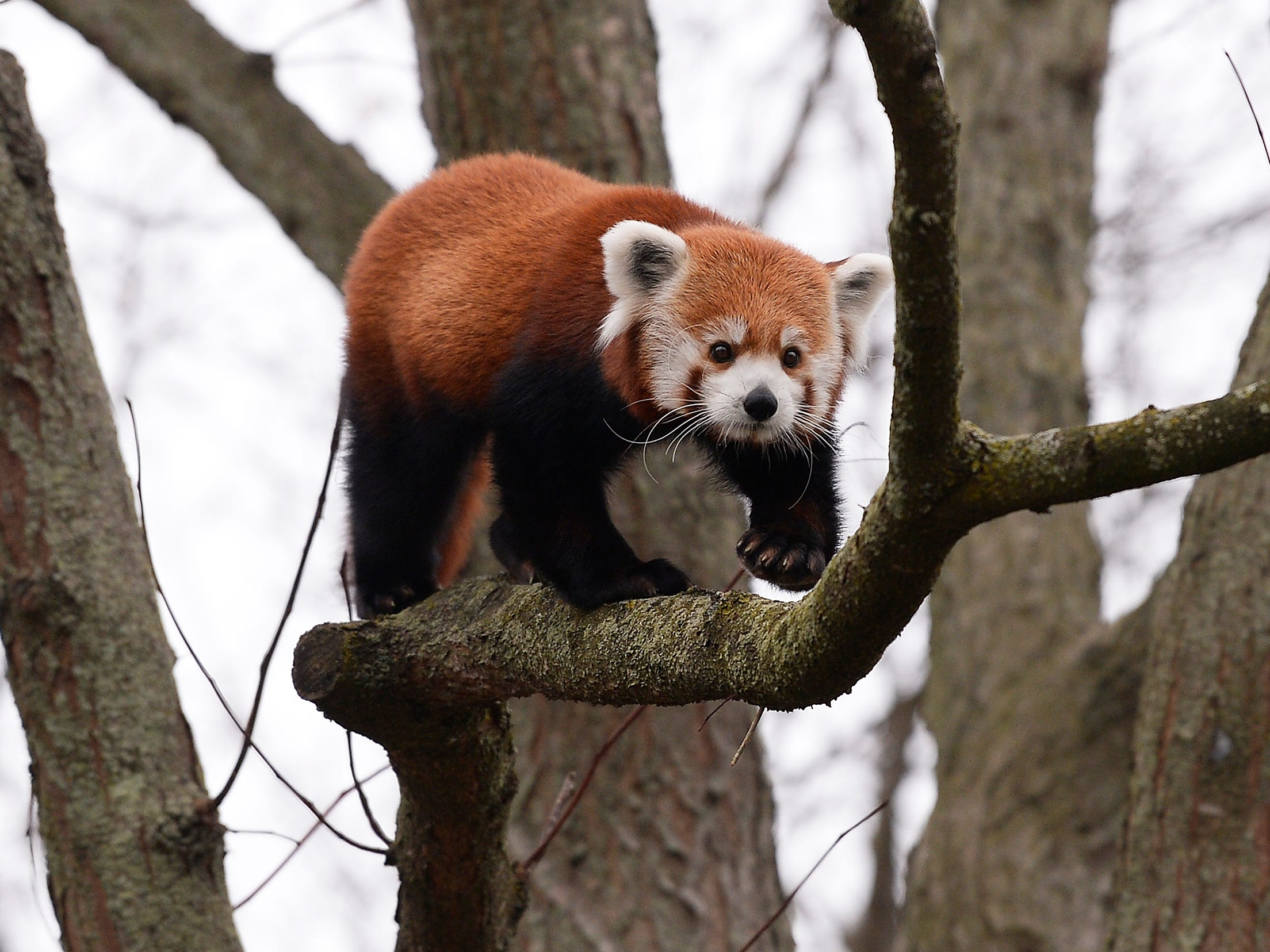 Red pandas get room to roam in larger Detroit Zoo home