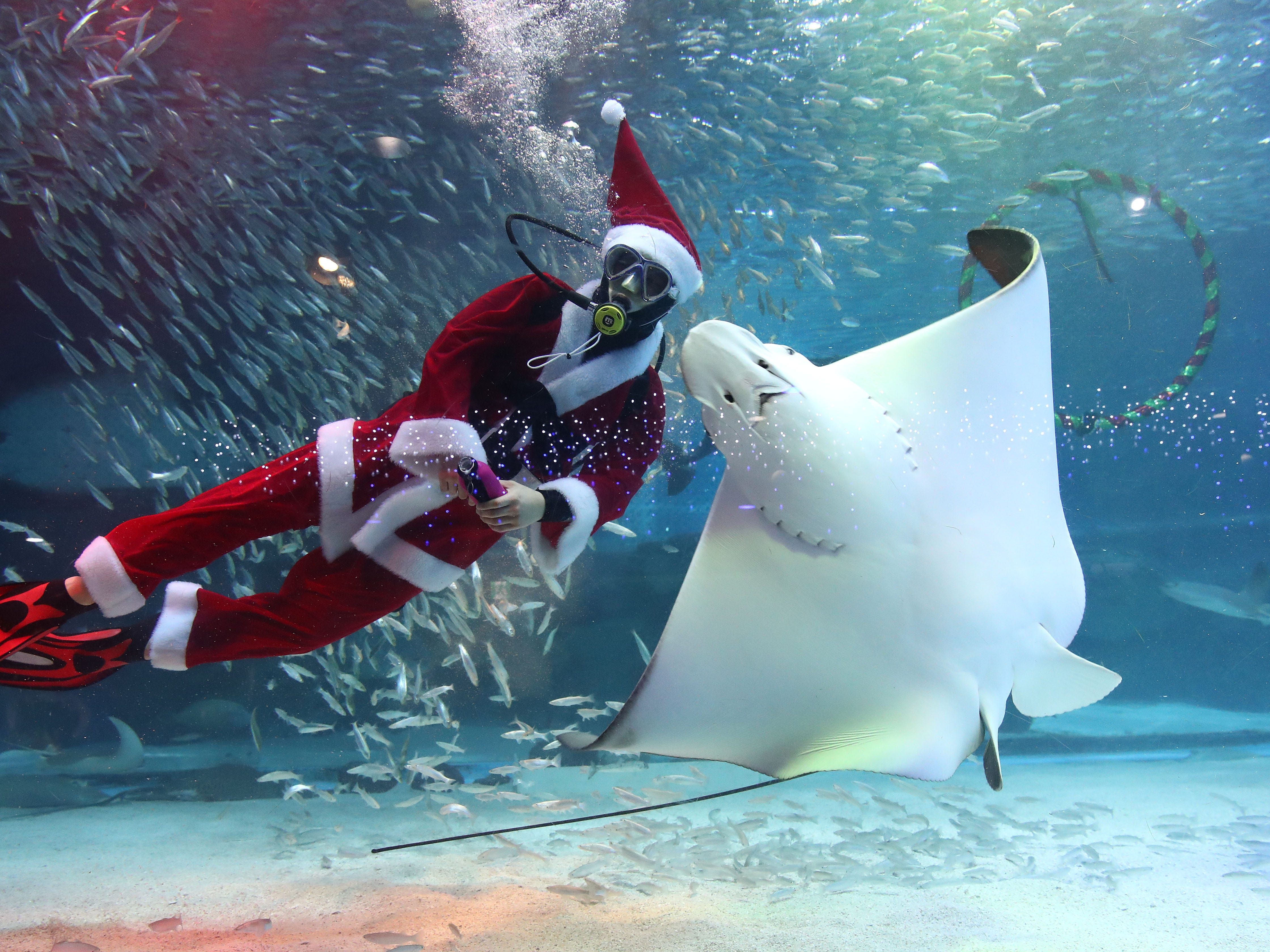 A diver wearing a Santa Claus costume swims with fish at COEX Aquarium on December 7, 2018, in Seoul, South Korea. Christmas has become increasingly popular in South Korea, the only East Asian country to recognize Christmas as a national holiday.