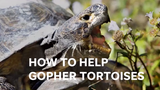 Gopher tortoises live in high and dry places that people want to use. State law prohibits relocating the tortoises without a permit.