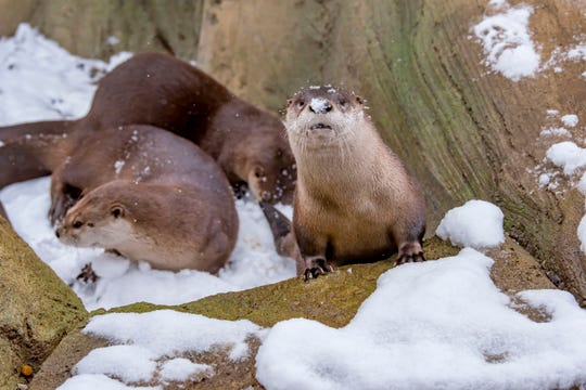 The North American river otters are very active during the winter months.