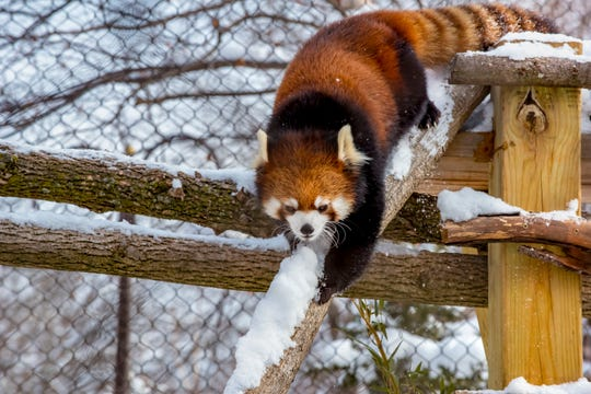 """Milwaukee County Zoo visitors will receive free admission Dec. 24 through Jan. 1 for """"Frosty Free Week."""" This is one of the zoo's red pandas."""