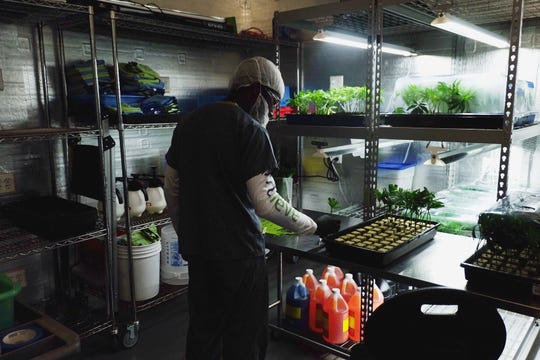 A Trulieve employee cares for medical marijuana plant clones in the nursery room, where each plant gets its own identity number, at the facility in Quincy, Fla., in December 2018.