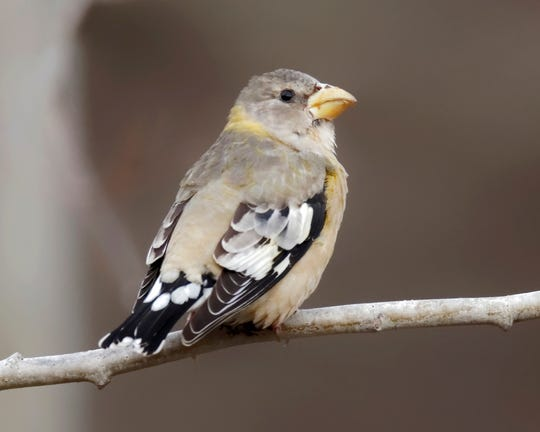 This evening grosbeak visited the feeders at NJ Audubon's Scherman Hoffman Sanctuary earlier this month.