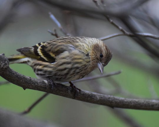 Pine siskins are already showing up at area feeders, including this one in Waldwick.