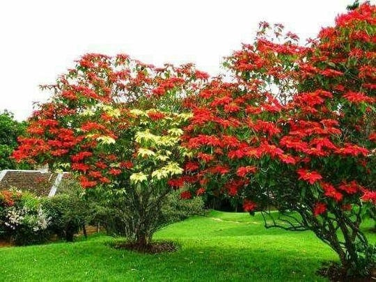 Left to grow, poinsettias transform into large bushes or trees, especially in climates such as Hawaii.