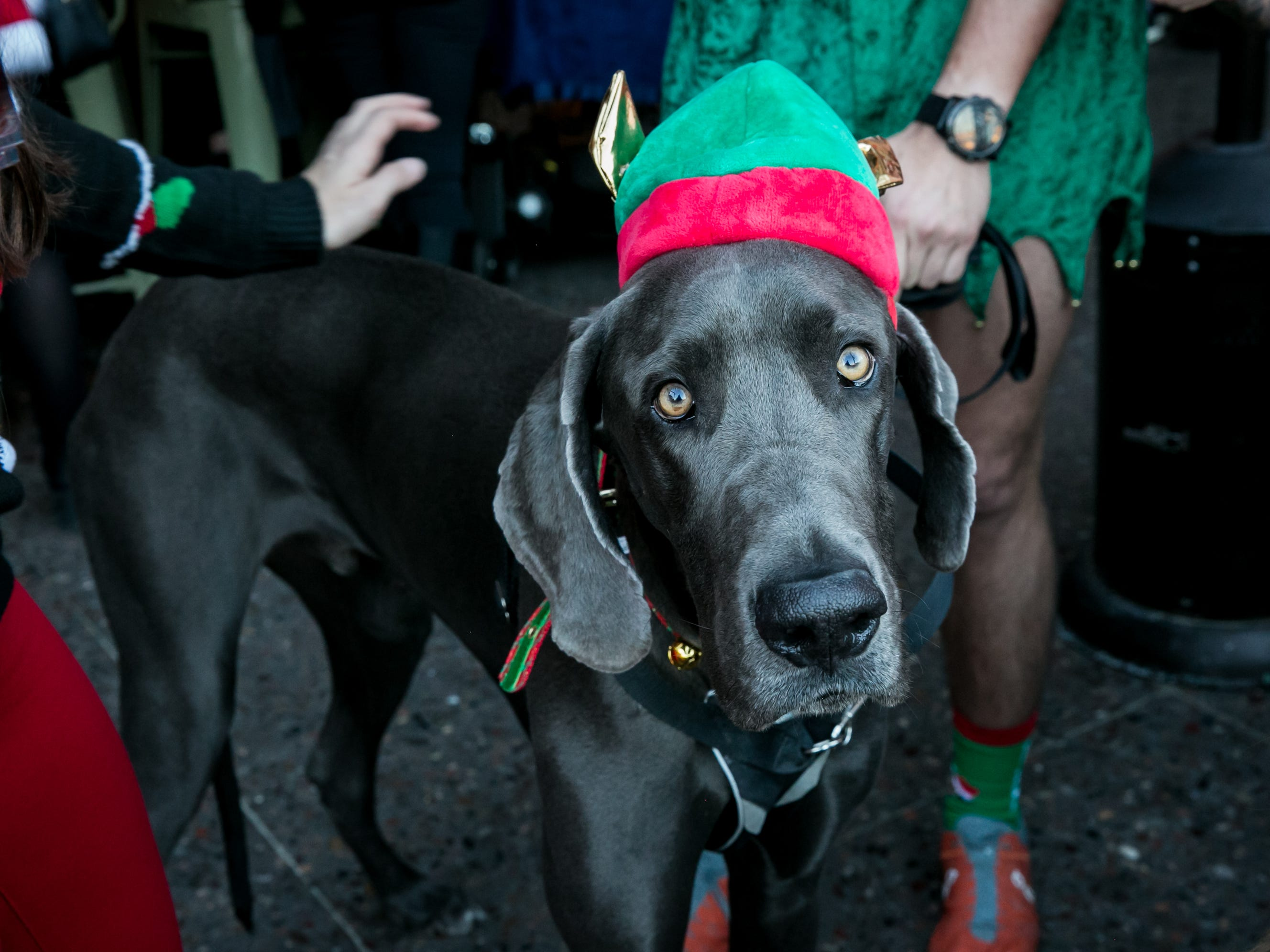 This dog yearned to pull Santa's sleigh during the Scottsdale Santa Crawl at Whiskey Row on Saturday, December 8, 2018.