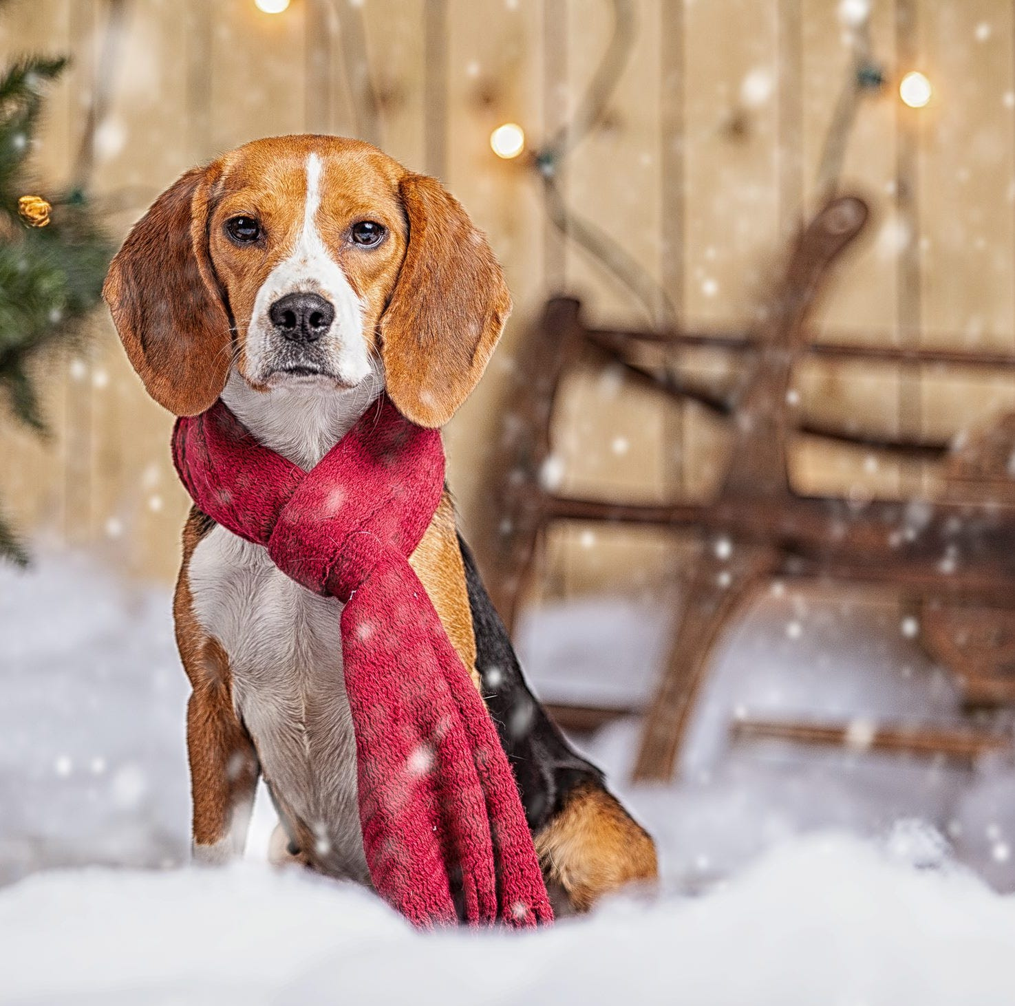Bagel the beagle up for adoption soon