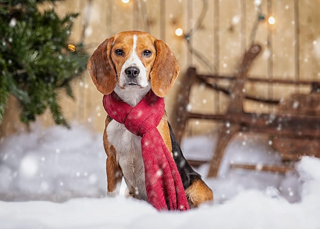 Bagel the beagle is ready to be adopted.