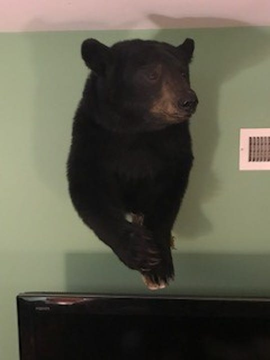 The 150-pound bear Nutter shot in 2017 in Lycoming County is mounted on the wall of his Fairview Township home.