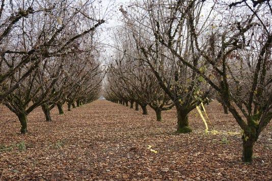 X Filbert Orchard