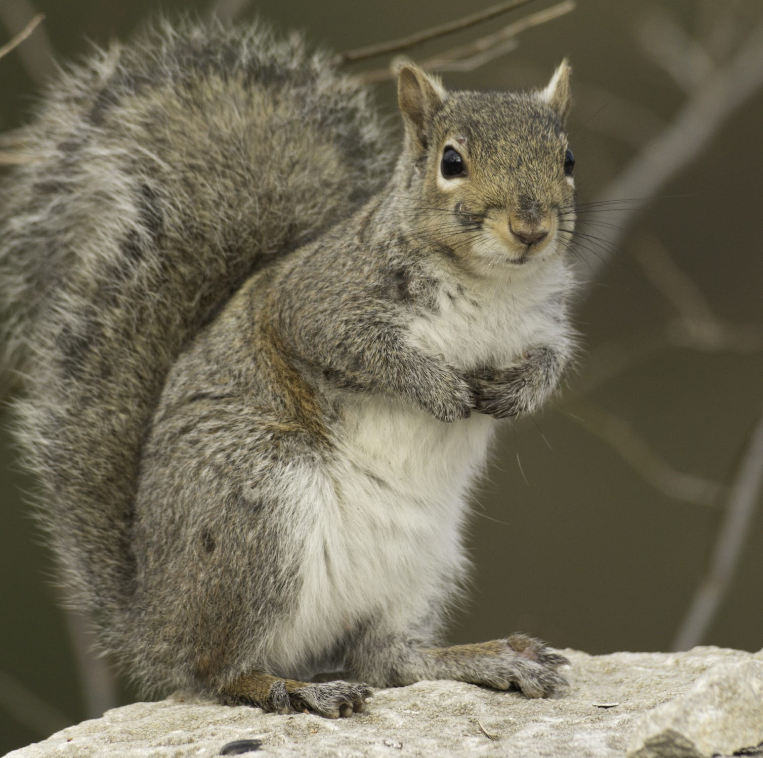 Glut of squirrels factor in hunting season changes