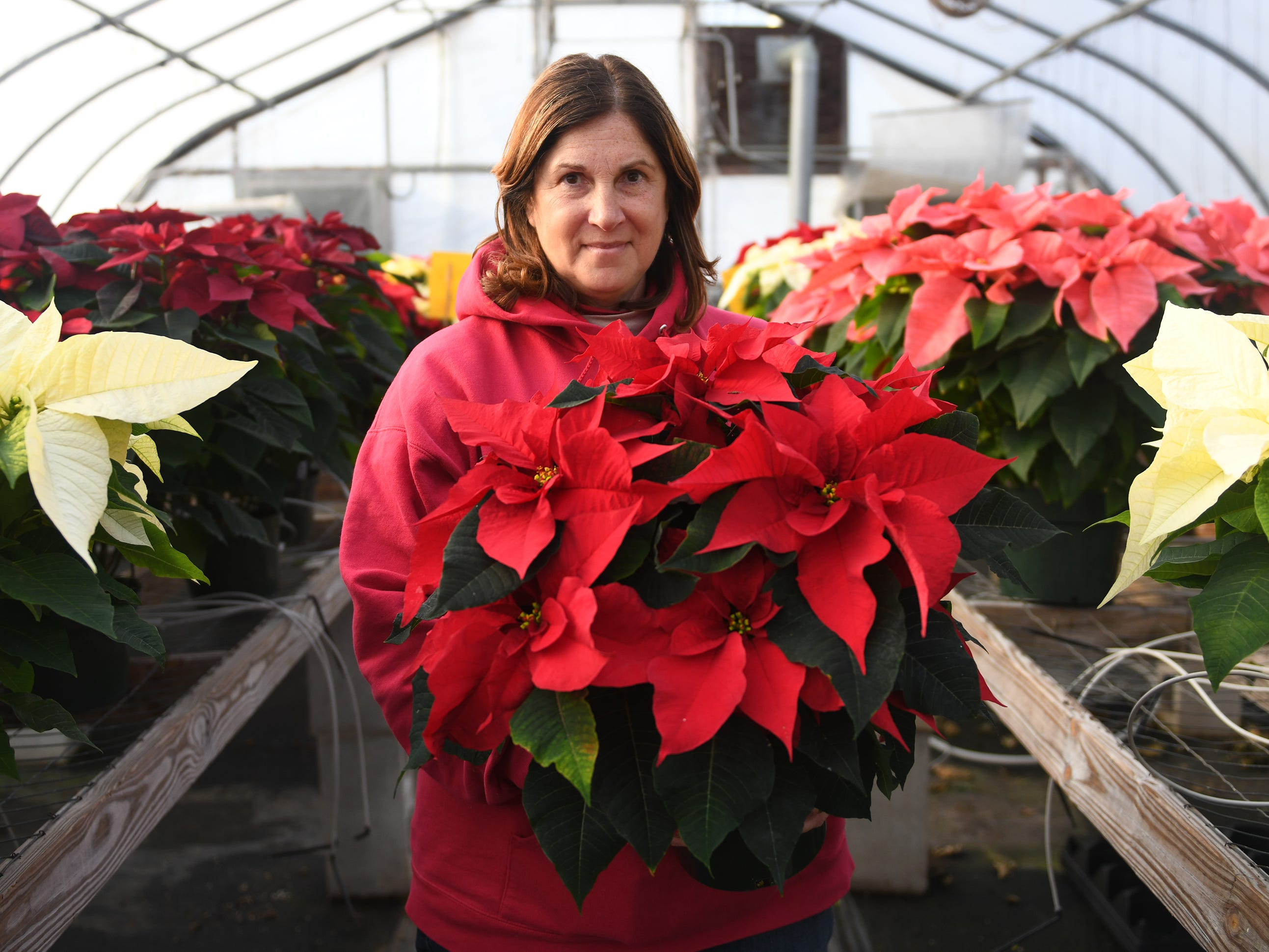 Patty Huffman holds a poinsettia plant that her farm produces. Huffman Farms starts to grow poinsettias in July so they are ready for the Christmas season. The plants are available in several different colors including red, white, burgundy, pink and even some speckled varieties at 296 S. Blue Bell Road in Vineland.
