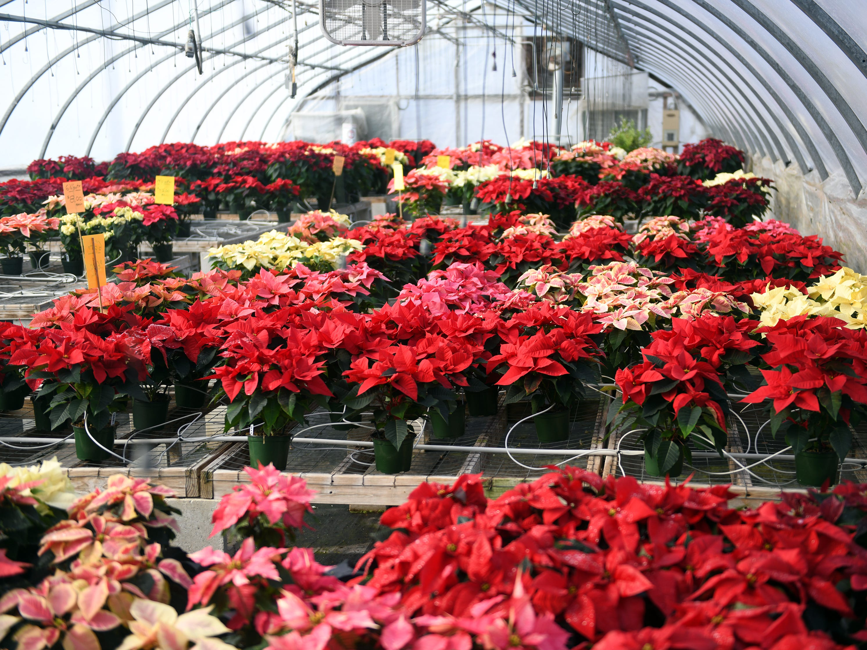 Tim and Patty Huffman of Huffman Farms grow and sell poinsettias that are available in several different colors including red, white, burgundy, pink and even some speckled varieties at 296 S. Blue Bell Road in Vineland. Monday, December 10, 2018.