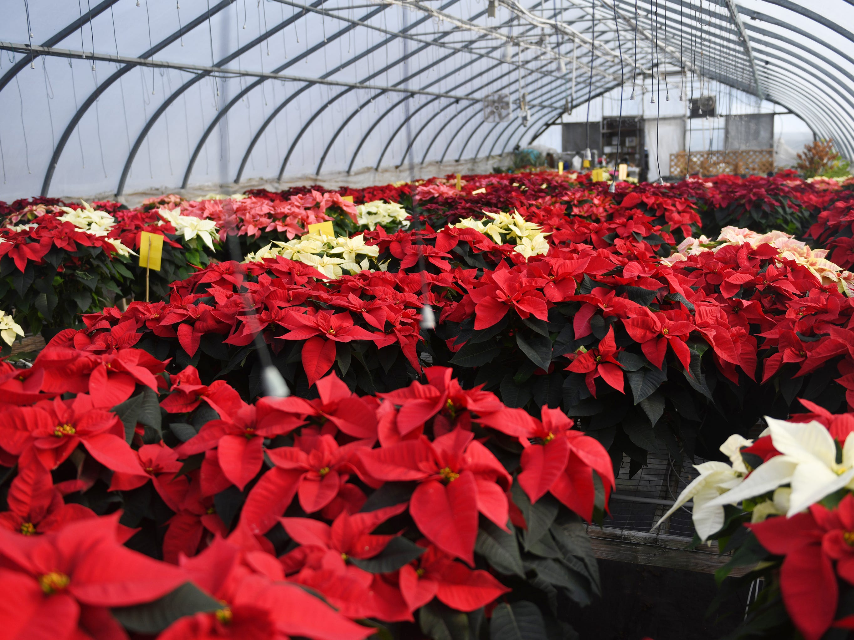 "Tim and Patty Huffman of Huffman Farms in Vineland begin to grow poinsettias in July so they are ready for the Christmas season. The farm produces over 7,000 plants ranging from 4.5"" to 14"" in size. The poinsettias are available in several different colors including red, white, burgundy, pink and even some speckled varieties. Monday, December 10, 2018."