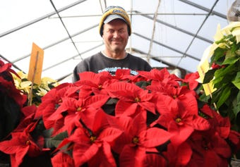 """Huffman Farms begins growing poinsettias in July so they are ready for the Christmas season. The farm produces over 7,000 plants ranging from 4.5"""" to 14"""" in size at 296 S. Blue Bell Road in Vineland."""