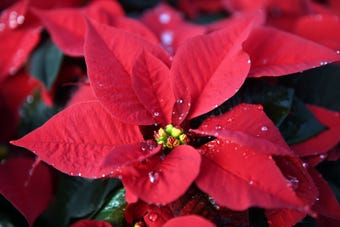"Huffman Farms in Vineland begins to grow poinsettias in July so they are ready for the Christmas season. The farm produces over 7,000 plants ranging from 4.5"" to 14"" in size."