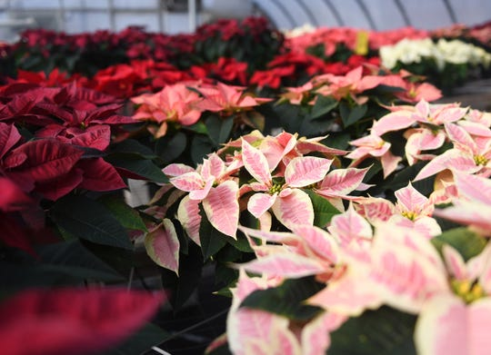 """Tim and Patty Huffman of Huffman Farms in Vineland begin to grow poinsettias in July so they are ready for the Christmas season. The farm produces over 7,000 plants ranging from 4.5"""" to 14"""" in size. The poinsettias are available in several different colors including red, white, burgundy, pink and even some speckled varieties. Monday, December 10, 2018."""