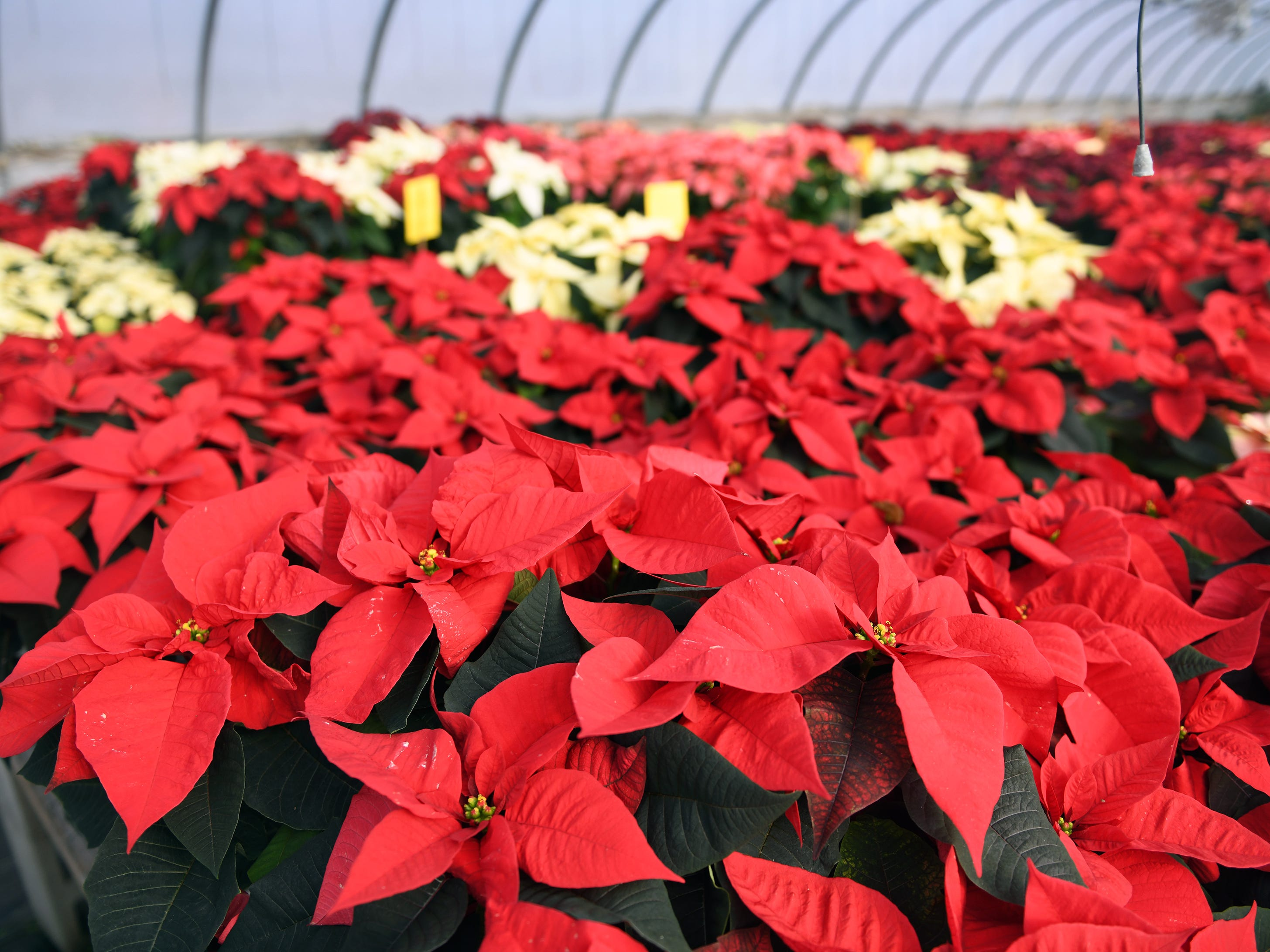 Tim and Patty Huffman of Huffman Farms in Vineland begin to grow poinsettias in July so they are ready for the Christmas season. Monday, December 10, 2018.