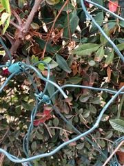 A holiday light cord is cut in front of Linda Fry's east Visalia home.