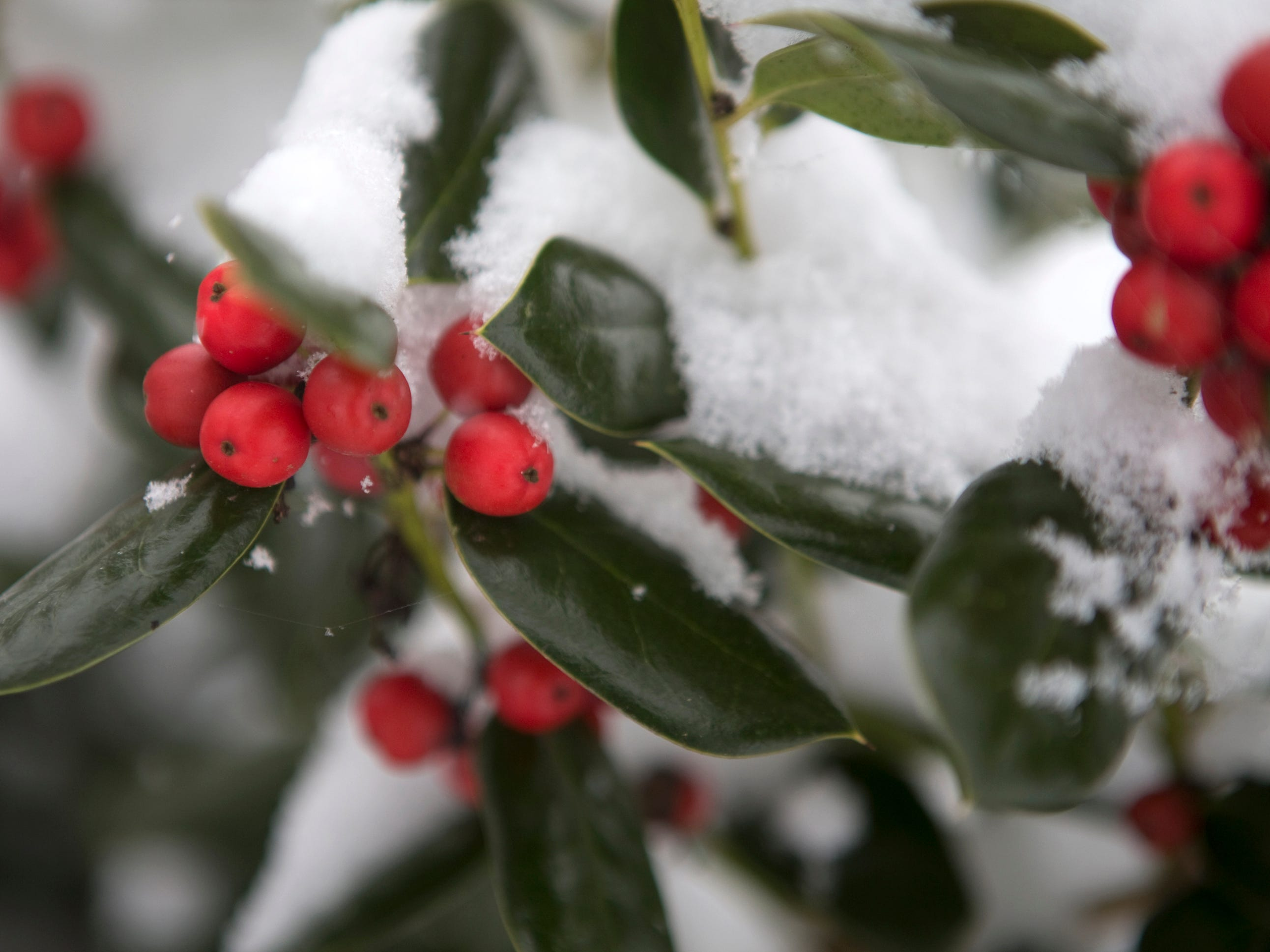 Snow covered berries are seen in Roanoke, Va., on Dec. 9.