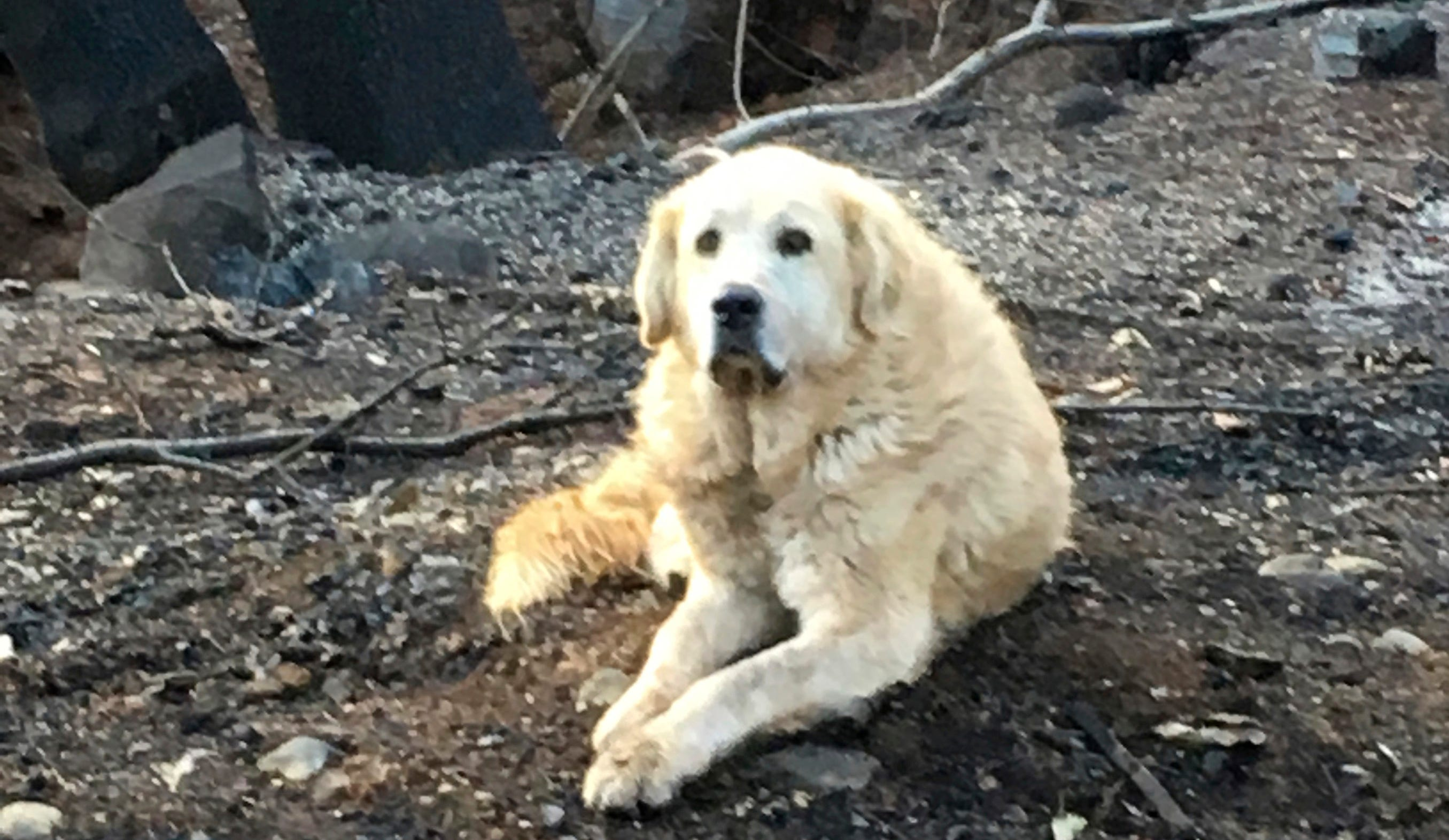 """This Dec. 7 photo provided Shayla Sullivan shows """"Madison,"""" the Anatolian shepherd dog that apparently guarded his burned home for nearly a month until his owner returned in Paradise, Calif."""