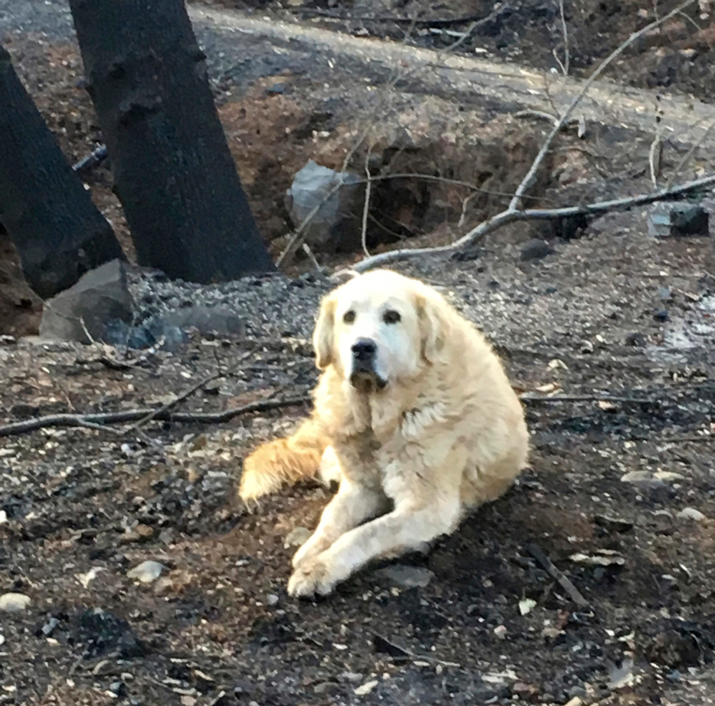 "This Dec. 7 photo provided Shayla Sullivan shows ""Madison,"" the Anatolian shepherd dog that apparently guarded his burned home for nearly a month until his owner returned in Paradise, Calif."