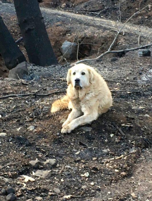 Ap California Wildfire Dogs Long Wait A Usa Ca