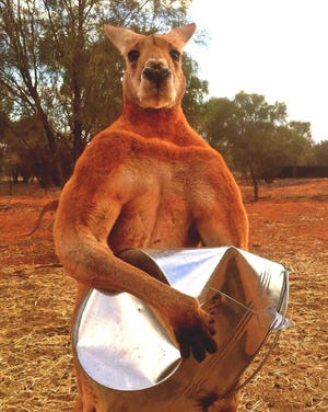 An undated handout photo made available by the Kangaroo Sanctuary, in Alice Springs Australia, showing Roger, the 'buff kangaroo' who became and internet sensation. The Kangaroo Sanctuary reports  that Roger has died aged 12.