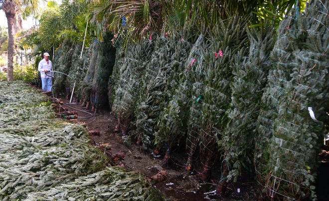John Realino keeps the Christmas trees wet and in the shade at Tropical Island Nursery and Landscaping on Plumosa St. on Merritt Island. He waters the trees two to three times a day to keep them fresh.