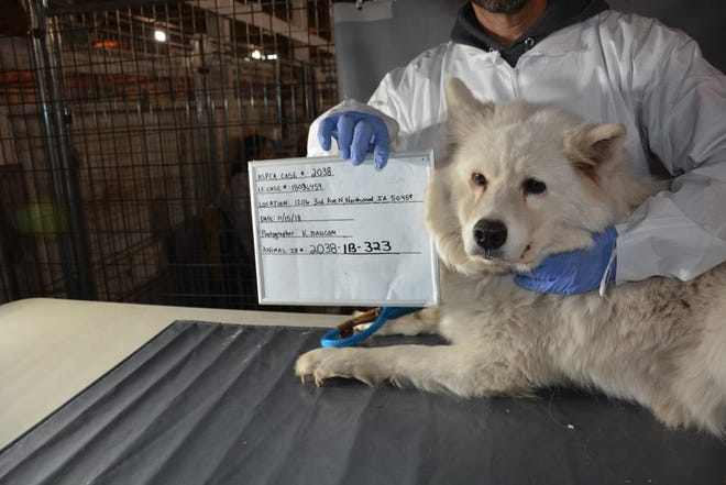 "This dog was taken from the ""puppy mill"" last month in Manly, Iowa. It was one of more than 150 Samoyeds found on the property."