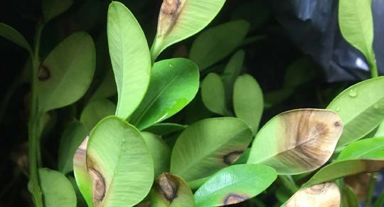 A boxwood plant's leaves show the signs of boxwood blight fungal infection.