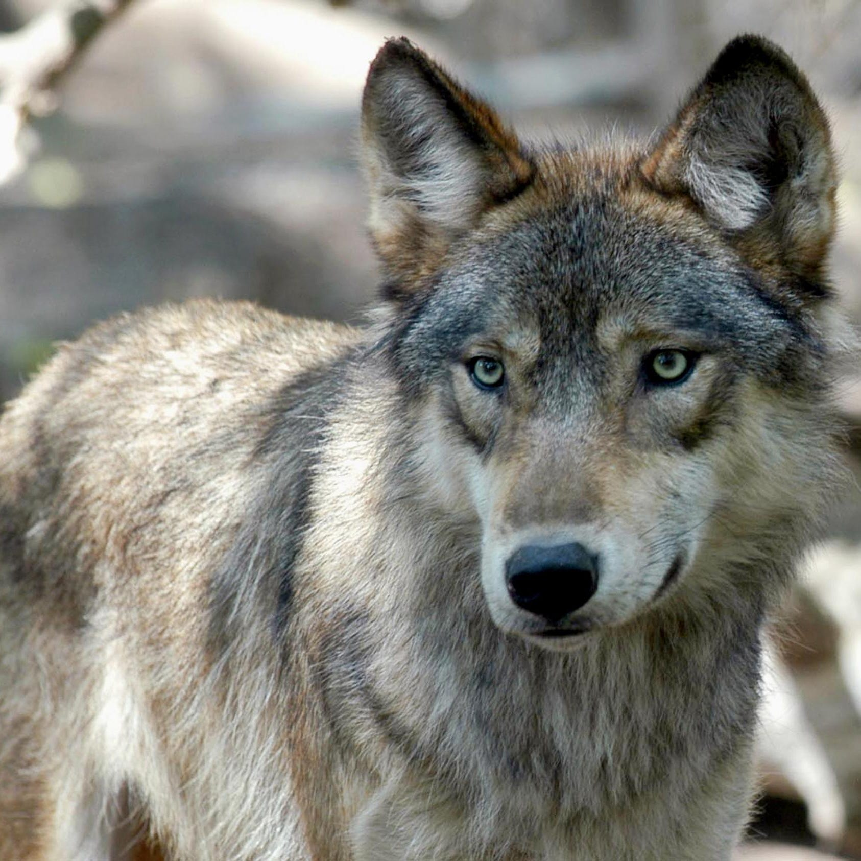 Government's motivation questioned in Michigan wolf killing