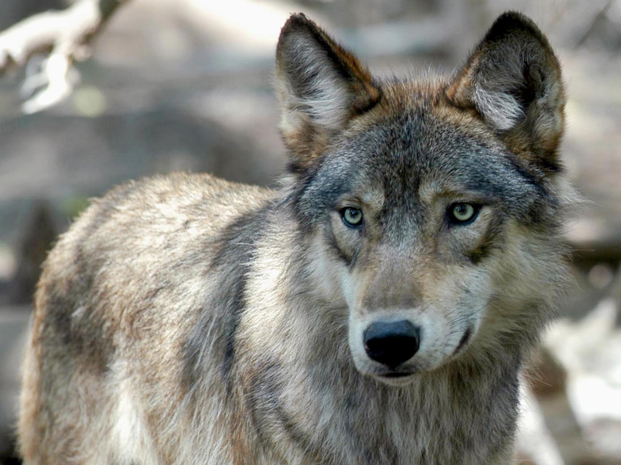 Why did Michigan order wolf killings?