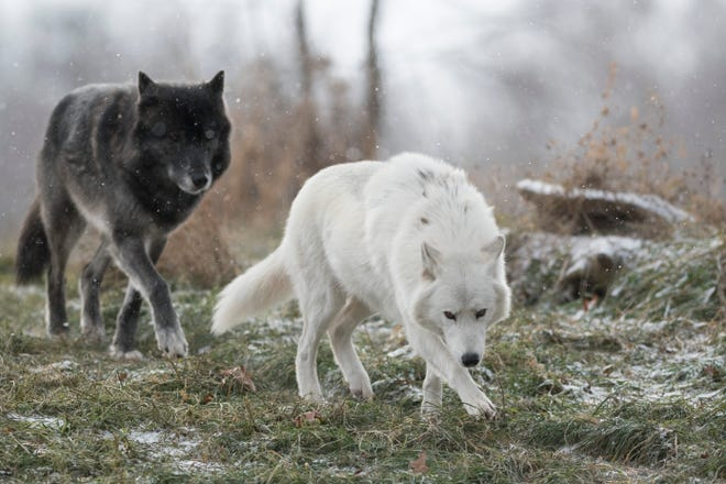 FILE -- Two gray wolves named Kaska, left, and Wazi check out the recycled holiday evergreen trees that were donated to the Detroit Zoo in Royal Oak, January 5, 2017.